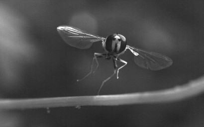 A Hoverfly taking off.