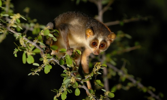 Portrait of a Slender Loris