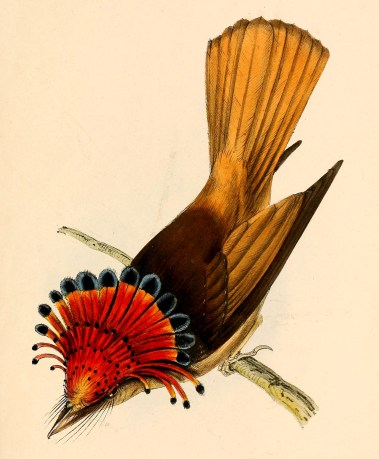 Onychorhynchus_coronatus_coronatus_from_above_1841