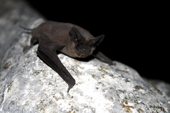 Mexican free tailed bat mammal
